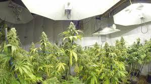 moving shot through cannabis marijuana plant garden stock footage