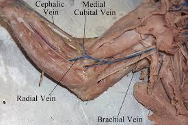 arm veins anatomy image collections learn human anatomy image