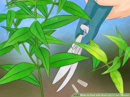 Plant Diseases Wikipedia - 3 ways to deal with black spot leaf disease wikihow
