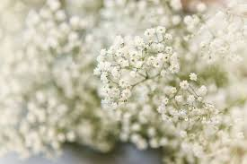 babys breath flower study baby s breath