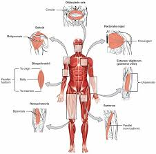 Outline The Anatomy And Physiology Of The Human Body Overview Of The Muscular System Boundless Anatomy And Physiology