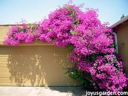 Climbing Plants That Flower All Year - the secrets of bougainvillea sharing all i know about this