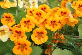 nasturtium flowers edible flowers in alaska alaska master gardener