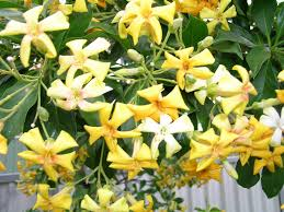 native plant nursery adelaide australian native frangipani hymenosporum flavum flower