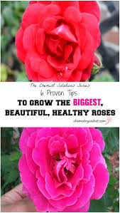six tips for making your rose blooms big beautiful u0026 healthy