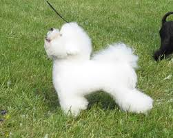bichon frise puppy 8 weeks best dog food for bichon frises food for the fluff herepup