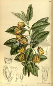 escape of the invasives top six invasive plant species in the 8555 lonicera ledebourii artscult com pinterest