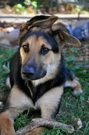 australian shepherd german shepherd mix for sale cute puppy dogs cute german shepherd mix puppies