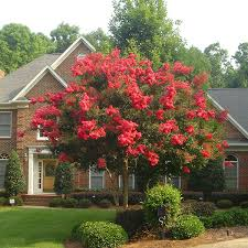 compare buy top crape myrtle trees fast growing trees