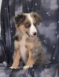 australian shepherd puppy fluffy australian shepherd puppy for sale in millersburg oh