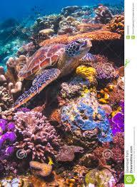 sea turtle sitting on a colorful coral reef in sipadan malaysia