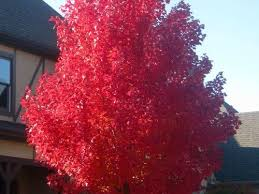 shade tree of the week october maple southern living