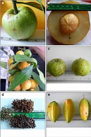 edible fruits five selected edible fruits grown in manipur india a