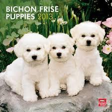 bichon frise cute 147 best bichon frise images on pinterest