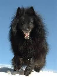belgian shepherd groenendael for sale uk 97 best belgian sheepdogs images on pinterest belgian shepherd
