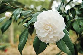 Oil Change Winter Garden The Complete Guide To Camellias Southern Living