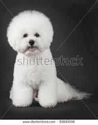 1 month old bichon frise bichon frise stock images royalty free images u0026 vectors