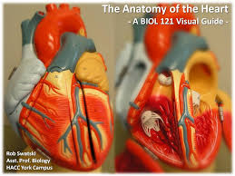 Visual Anatomy And Physiology Pdf Cover Page The Anatomy Of The Heart Visual Atlas Page 1 U2026 Flickr