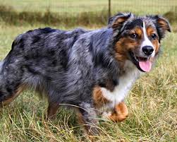 buy a australian shepherd australian shepherds for sale