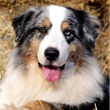 australian shepherd zucht deutschland western recall u0027s australian shepherds