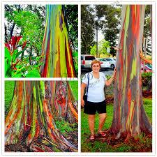 Rainbow Eucalyptus Online Buy Wholesale Rainbow Eucalyptus Seeds From China Rainbow