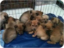 australian shepherd lab mix lab aussie mixes adopted puppy wasilla ak australian