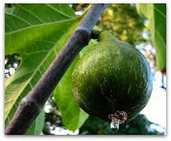 Judge A Tree By Its Fruit - how to know when a fig is ripe and ready to pick tall clover farm
