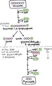 glycolysis cellular respiration biology article khan academy