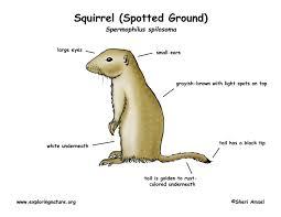 ground squirrel spotted