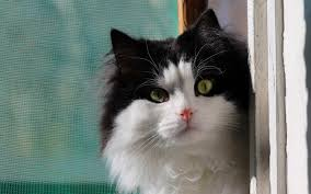 Cute Black And White Wallpapers by Cute Black White Cat Hd Desktop Wallpaper Widescreen High