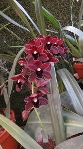 diuris corymbosa common donkey orchid 333 best orchids pansies u0026 violets images on pinterest plants