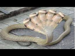 vidio film ular anaconda giant anaconda attacks human giant anaconda vs crocodile giant