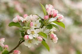flowering crabapple tree malus southern living