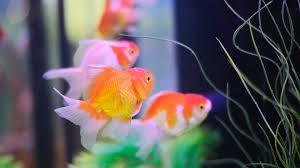 how to keep koi fish aquarium care youtube