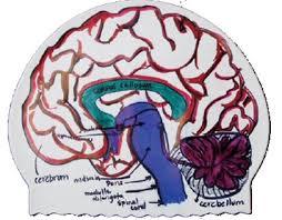 biology brain science teaching caps 500512 allswim