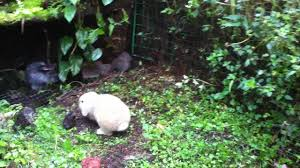 Homemade Rabbit Cage Outdoor Walk In Bunny Cage Project Youtube