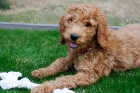 australian shepherd spaniel mix goldendoodle golden retriever poodle mix