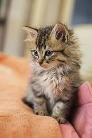 cutes aline hair long hair cat breed cats types kittens pinterest