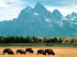 Wyoming national parks images Bison grazing grand teton national park wyoming jpg