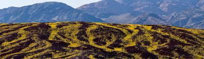 Bloom See The U0027super Bloom U0027 Bringing Life To Death Valley