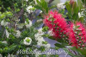 best australian native hedge plants wariapendi native nursery growing and selling quality native plants