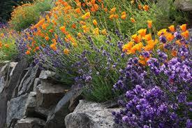 Rock Garden Plant Lavender In The Garden
