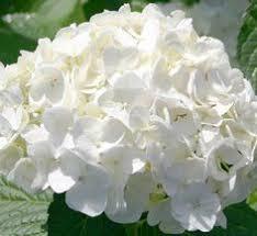 White Hydrangeas Shrubs Flowers Leaves 84563 640x1136 Hydrangea Gardens And Flowers