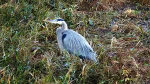 Georgia wildlife images Georgia wildlife swamp birds nov 2016 jpg