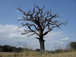 dead oak tree rb trees oak tree