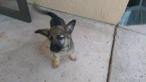 belgian shepherd ontario breeders my 10 week puppy underweight german shepherd dog forums