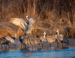 grand island convention u0026 visitors bureau cranes u0026 wildlife