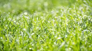 concimazione tappeto erboso la concimazione prato in estate maggio giugno