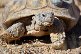 genome may help tortoise win race to survive