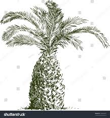 sketch palm tree stock vector 164466293 shutterstock